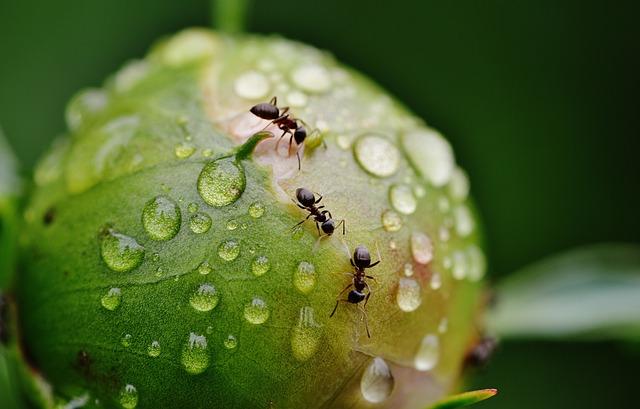 mravenci na květině